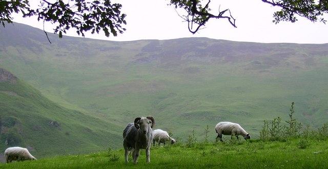 Sheep, Grange