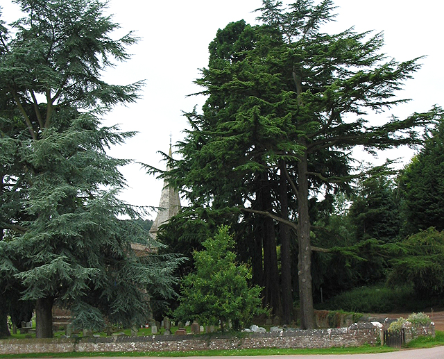 Towering trees of St. John the Baptist churchyard