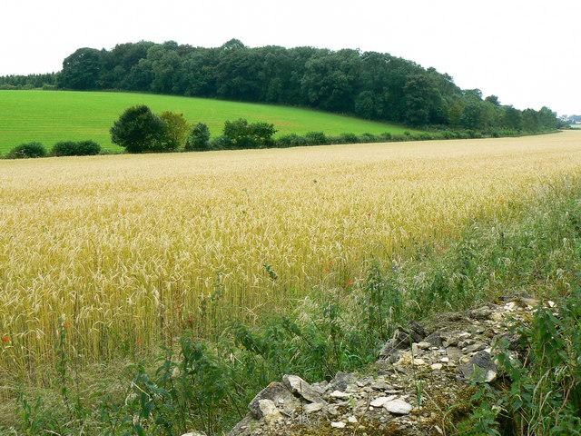 Wall, crop and Beech Copse near Horton