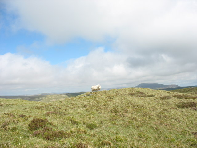 A sheep on the summit of Foel Cynfal
