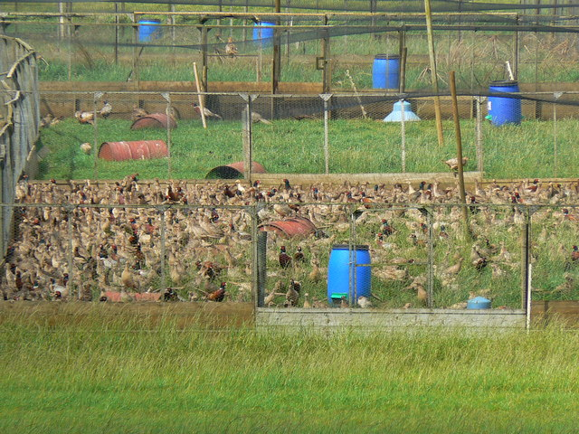 Pheasants in a coop, near Badminton