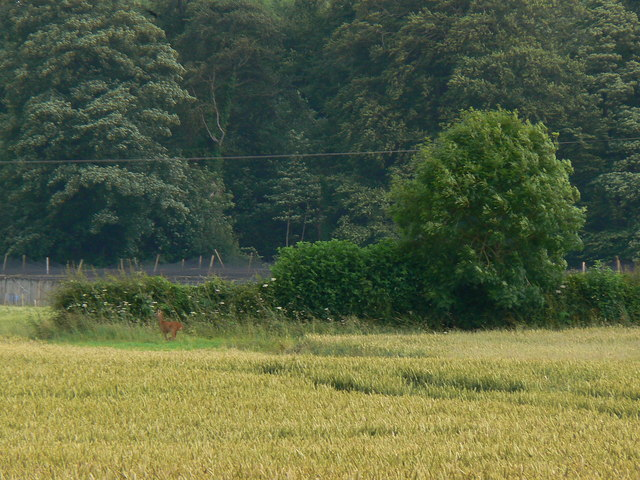 Wheat, trees (and a deer) near Badminton