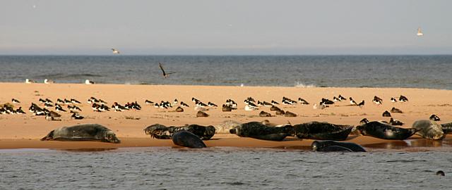 Grey seals and oystercatchers on Newburgh bar