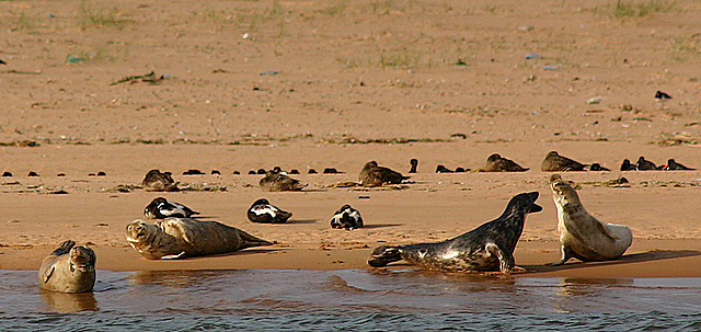 Grey seals on the beach at Newburgh