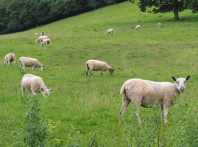 Sheep grazing on hillside pasture
