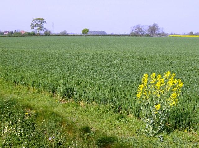 Cereal crop west of Obthorpe