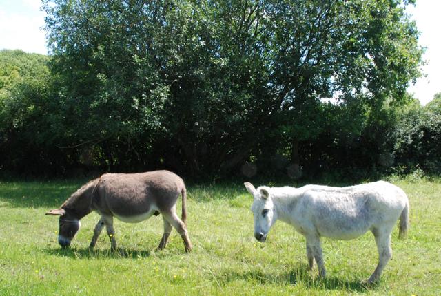 Donkeys grazing near The Marshes