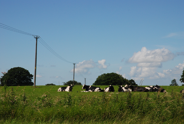 Cows on Little Down