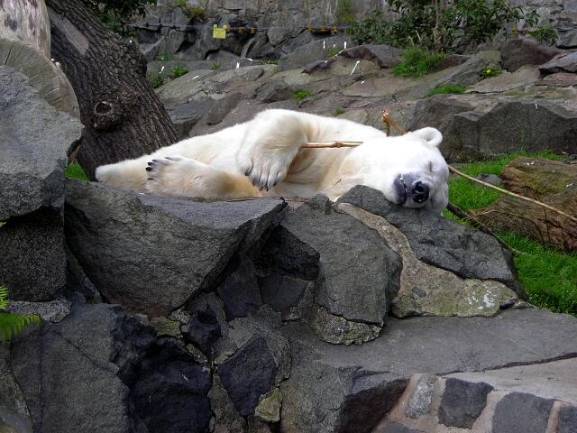 Polar Bear Asleep with Comfort Stick