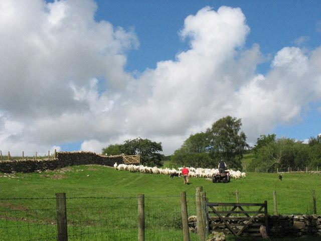 Diadell Bedd y Coedwr. The Bedd y Coedwr Flock