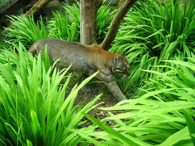 Asiatic Golden Cat