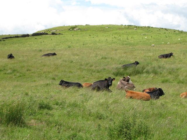 Cattle grazing below hill 205