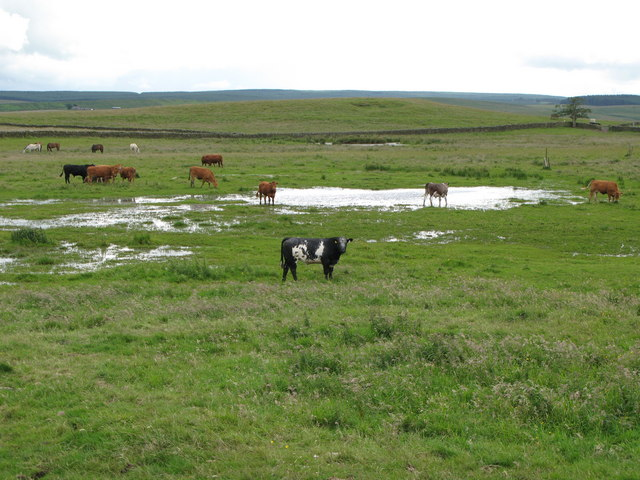 Cattle grazing damp pastures near Hetherington