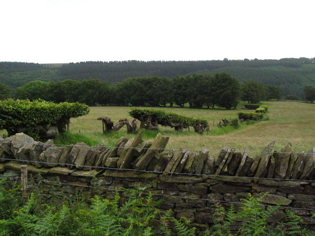 Beech hedge and dry stone wall.