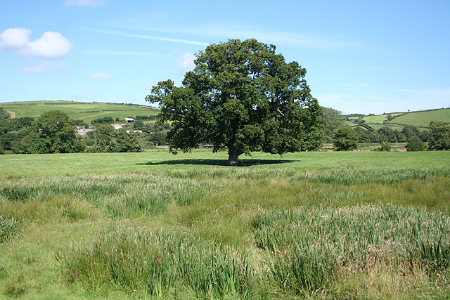 Tawstock: oak tree