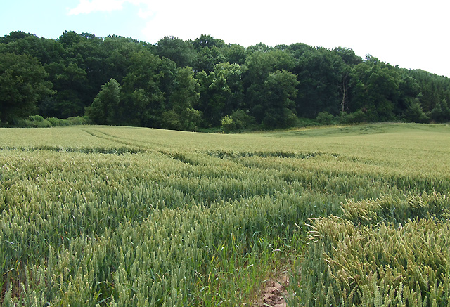 Wheat Field, near Monkhopton, Shropshire