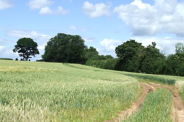 Wheat Field near Monk Hall, Shropshire