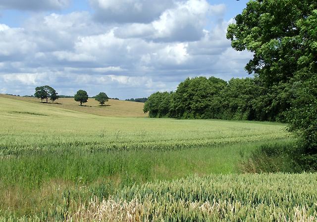 Wheat Fields near Aston Eyre, Shropshire