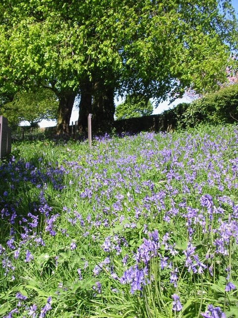 Bluebells at Brailsford Church