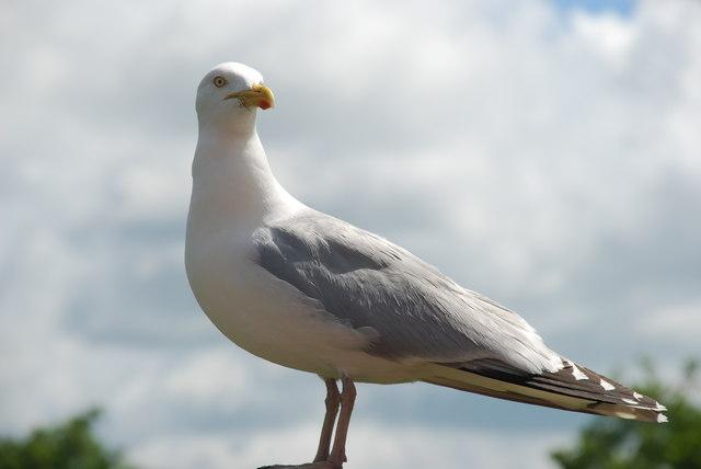 Gwylan lwyd - Herring gull