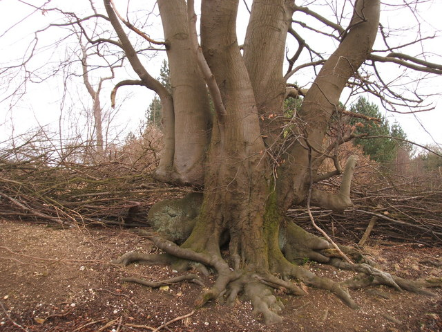 Old Beech Tree in Hedge in Priors Wood