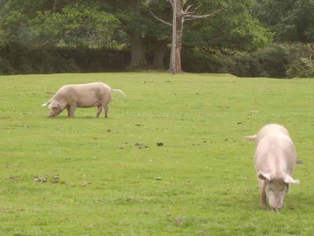 Pigs on Cadnam Green