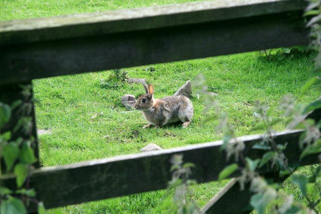 Lammermuir Bunny