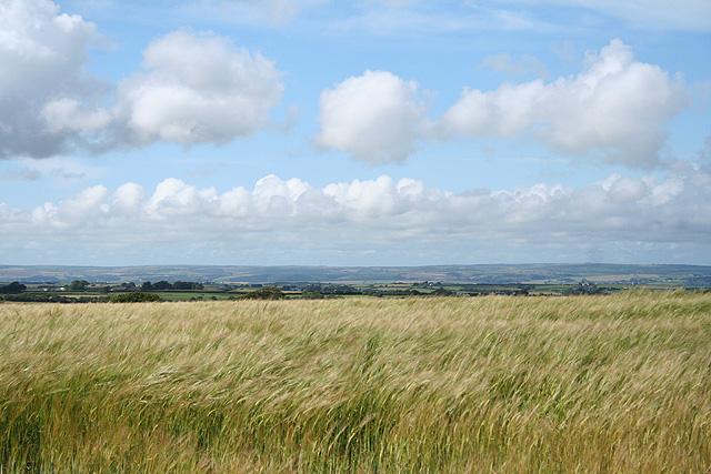 Huntshaw: field of barley