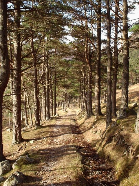 Path through Scots pine wood.