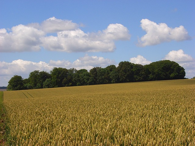 Wheat and copse above South Newton.