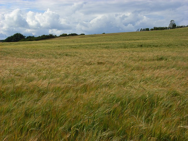 Barley, Little Wishford