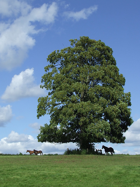 Sycamore Tree with Horses, Aston Eyre, Shropshire