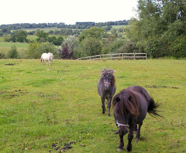 Shetland ponies at Hampton Green