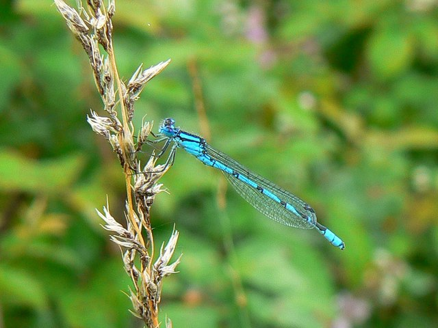 Damselfly, near South Cerney