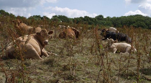 Cattle at Landsend Farm