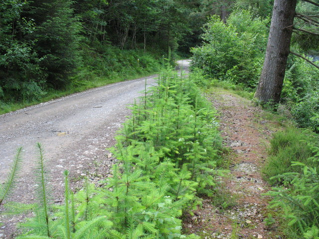 Young saplings along the side of the forestry road