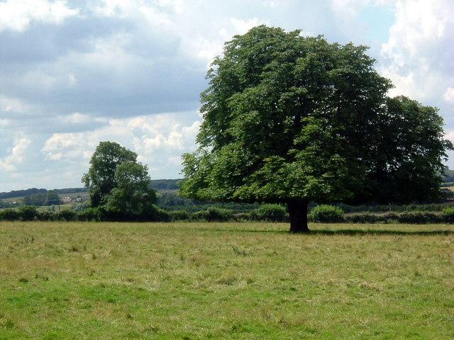 Trees near Achurch