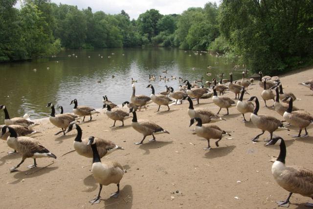 Canada Geese, Heaton Park