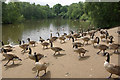SD8303 : Canada Geese, Heaton Park by Stephen McKay