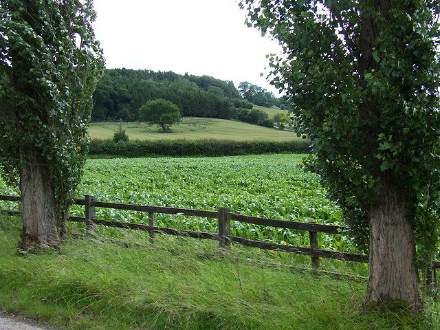 Field of Maize near Monkhall, Shropshire