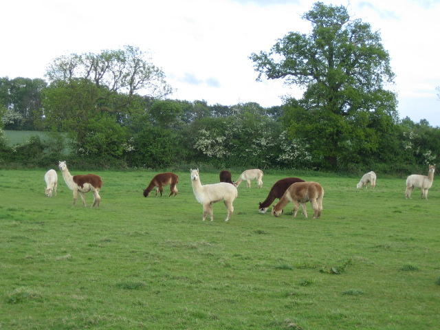 Alpaca, Lower Claydon Hill Farm near Sandhill