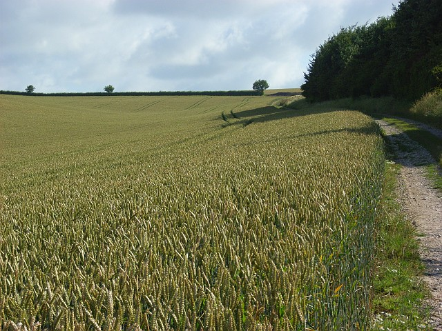 Wheat, South Newton