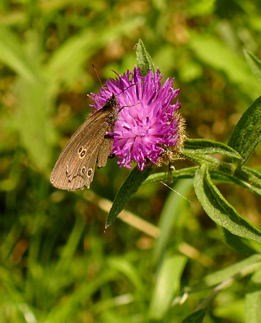 Ringlet Butterfly on a flower