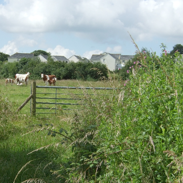 Cows of Ystradowen