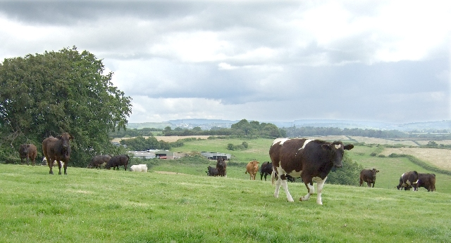 Cows of Crofta Farm, Ystradowen