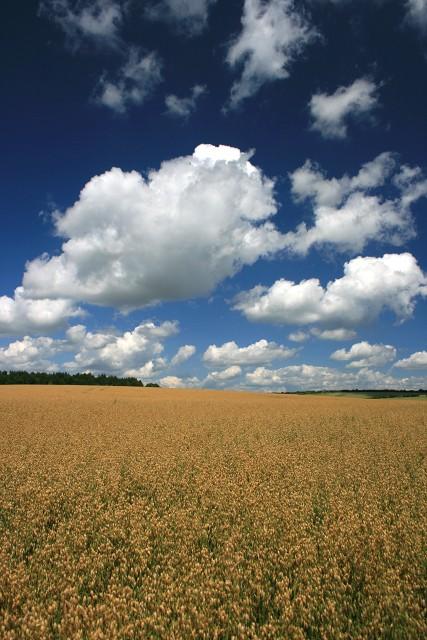 A field of oats beside Caesar's Belt