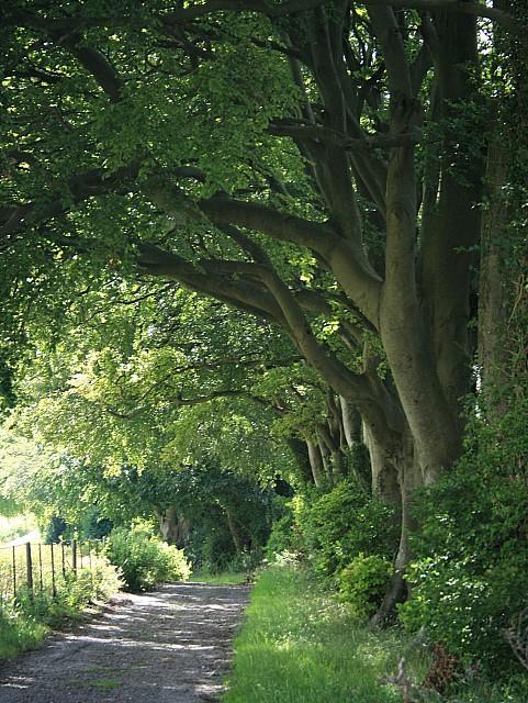 Row of beech trees on the Wayfarer's Walk