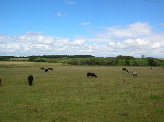 Cows near Spofforth