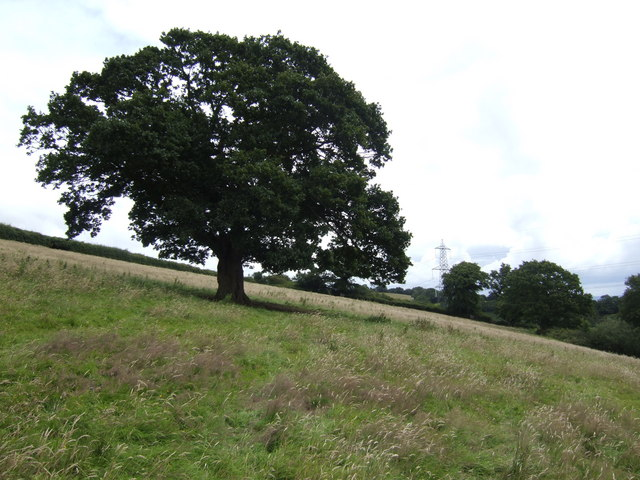 Oak tree on the hillside