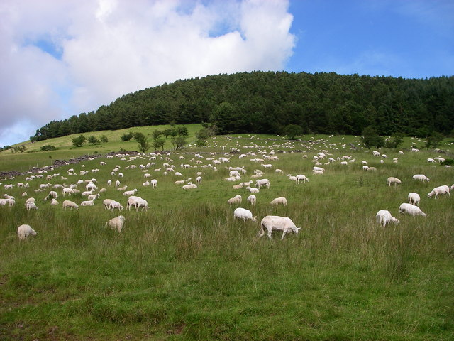 Field of sheep above Nant Crew Bridge